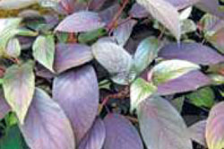 The distinctively-colored leaves of the Hydrangeas aspera 'Plum Passion.'