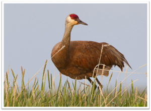 Sandhill Crane  (Photo by Gerrit Vyn)