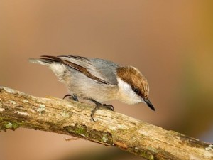 cornell_brownheaded nuthatch