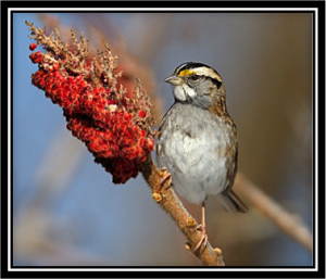 White-throated Sparrow (white-stripe variety) Picture courtesy of Cornell Labs