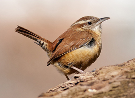 Carolina Wren Photo courtesy of Cornell Labs