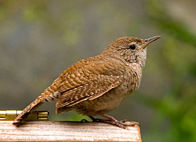 House Wren Photo courtesy of Cornell Labs