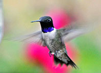 Black-Chinned-hummingbird