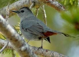 Gray Catbird (Cornell)