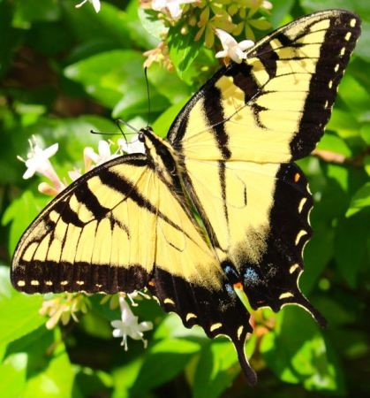 Tiger Swallowtail on Abelia (Piedmont Gardener)